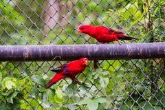 Crimson Rosella or red parrot birds Royalty Free Stock Photos