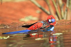 Crimson rosella Stock Photography