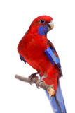 Crimson Rosella on white Stock Photos