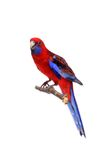 Crimson Rosella on white Royalty Free Stock Images
