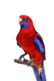 Crimson Rosella on white Stock Photography