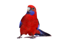 Crimson Rosella on white Royalty Free Stock Photography
