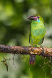 Crimson Rumped Toucanet Royalty Free Stock Image
