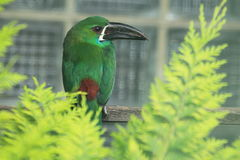 Crimson-rumped toucanet Royalty Free Stock Images