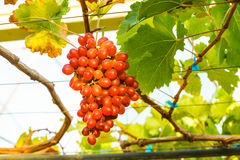 Crimson seedless grapes Royalty Free Stock Photos