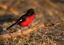 Crimson shrike on branch Stock Photography