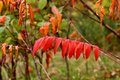 Crimson Sumac in the Autumn against a Blurred Background Stock Photography