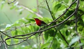 Crimson sun-bird stock photos