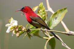 Free Crimson Sunbird Royalty Free Stock Images - 142609139
