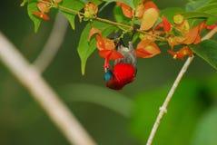 crimson sunbird arkivfoton