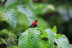 crimson sunbird arkivbilder
