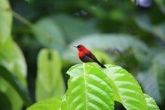 crimson sunbird royaltyfri fotografi