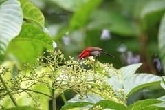 crimson sunbird royaltyfria bilder
