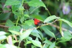 crimson sunbird royaltyfri foto