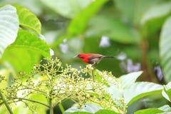 crimson sunbird fotografering för bildbyråer