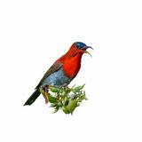 Crimson Sunbird or Aethopyga siparaja. Crimson Sunbird or Aethopyga siparaja, beautiful red bird isolated perching on branch with white background Stock Photography