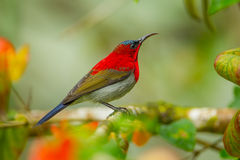 Crimson Sunbird. (Aethopyga siparaja) catch on branch in nature at Kitchakoot mountain national park,Thailand Stock Images