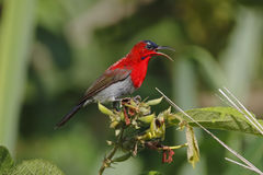 Crimson Sunbird Aethopyga siparaja Male Cute Birds of Thailand Stock Images