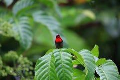 Crimson sunbird Stock Photo