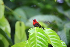 Crimson sunbird Royalty Free Stock Image