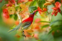 Crimson Sunbird (Aethopyga siparaja) stock photography