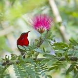 Crimson sunbird in Bardia Nepal Stock Photos