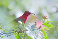 Crimson sunbird in Bardia Nepal Royalty Free Stock Image