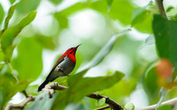 Crimson Sunbird Royalty Free Stock Images