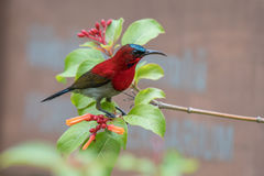 Crimson Sunbird finding some sweet nectar from flowers. Royalty Free Stock Photography