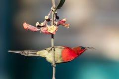 Crimson sunbird male royalty free stock photos