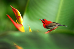Crimson Sunbird. On a perch Royalty Free Stock Photos