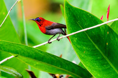 Crimson Sunbird perched on a plant royalty free stock images