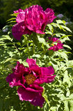 Crimson treelike peonies Royalty Free Stock Photo