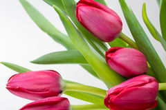 Crimson tulip flower on background Royalty Free Stock Photo