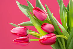 Crimson tulip flower on background Royalty Free Stock Images