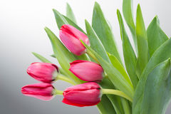 Crimson tulip flower on background Stock Photos