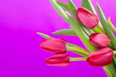 Crimson tulip flower on background Stock Images
