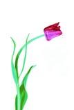 Crimson tulip flower isolated Stock Images