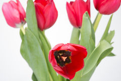 Crimson tulip flower on white background Royalty Free Stock Photography