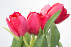 Crimson tulip flower on white background Stock Photography