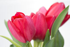 Crimson tulip flower on white background Stock Photo