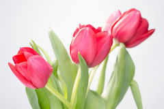 Crimson tulip flower on white background Stock Photos