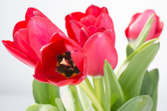 Crimson tulip flower on white background Stock Images