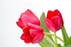 Crimson tulip flower on white background Royalty Free Stock Photo