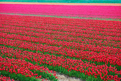 Crimson tulip red and flower  field Stock Photography
