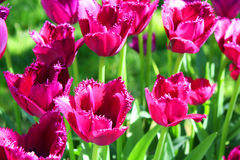Crimson tulips Stock Image