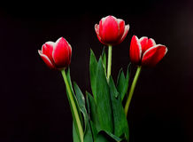 Crimson Tulips Royalty Free Stock Photo