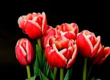 Crimson Tulips Royalty Free Stock Images