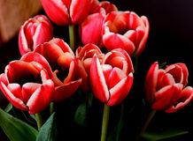 Crimson Tulips Royalty Free Stock Image