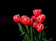 Crimson tulpan fotografering för bildbyråer